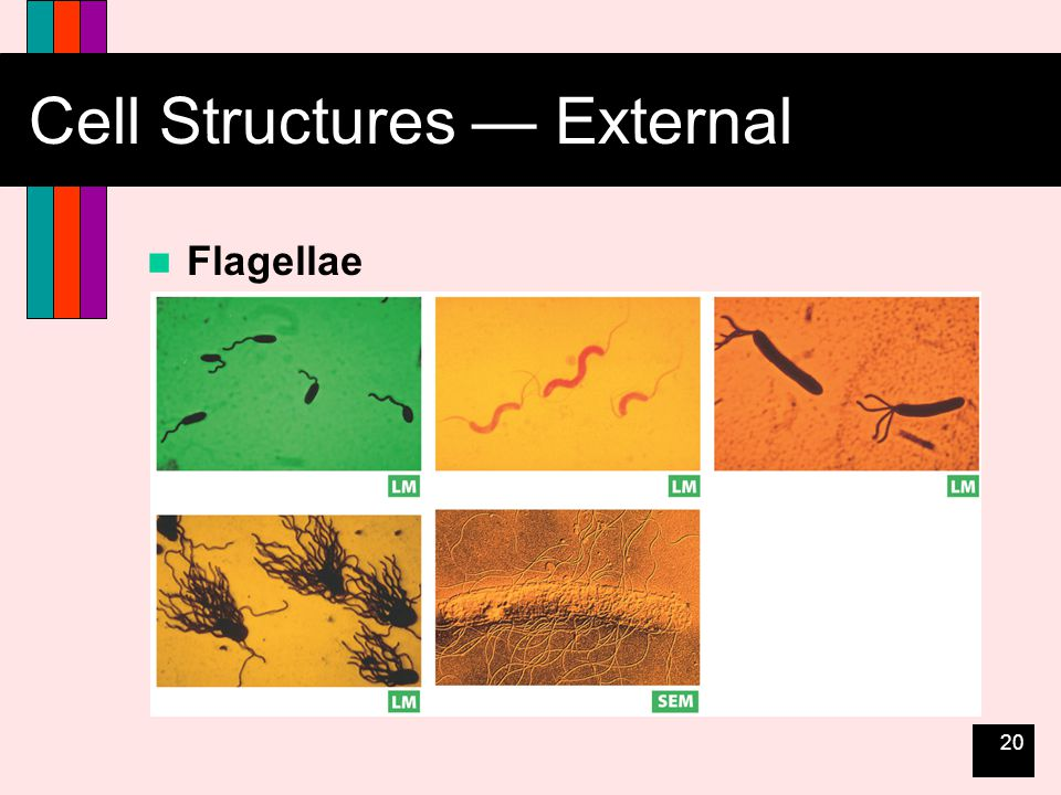 20 Cell Structures — External Flagellae
