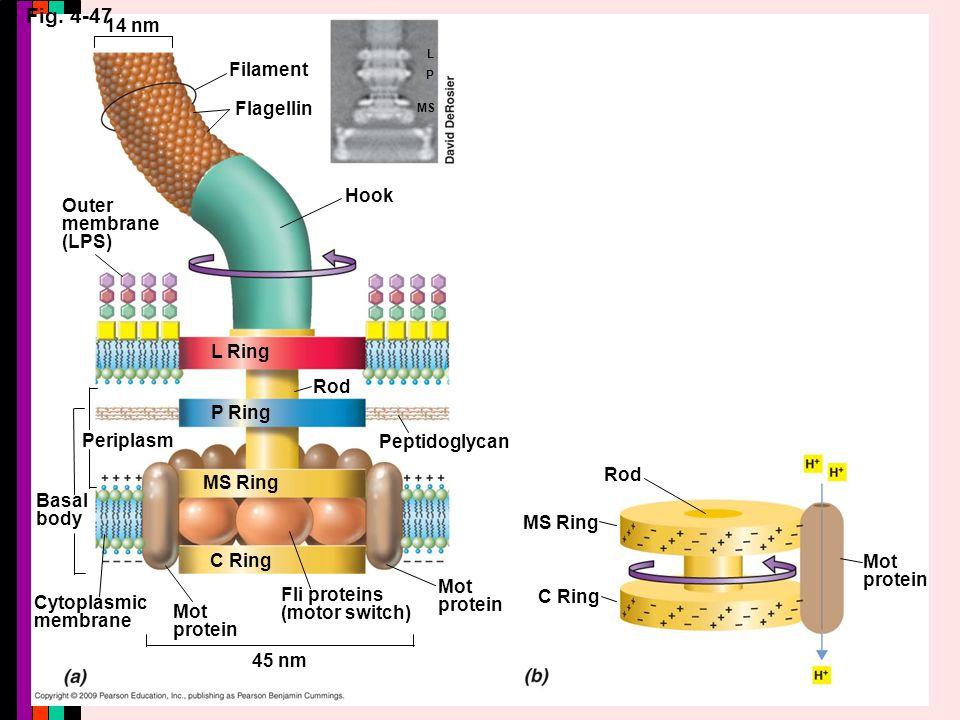 Fig. 4-47 14 nm Filament Flagellin Outer membrane (LPS) Hook L Ring P Ring Rod Periplasm MS Ring Basal body C Ring Cytoplasmic membrane Mot protein Fl
