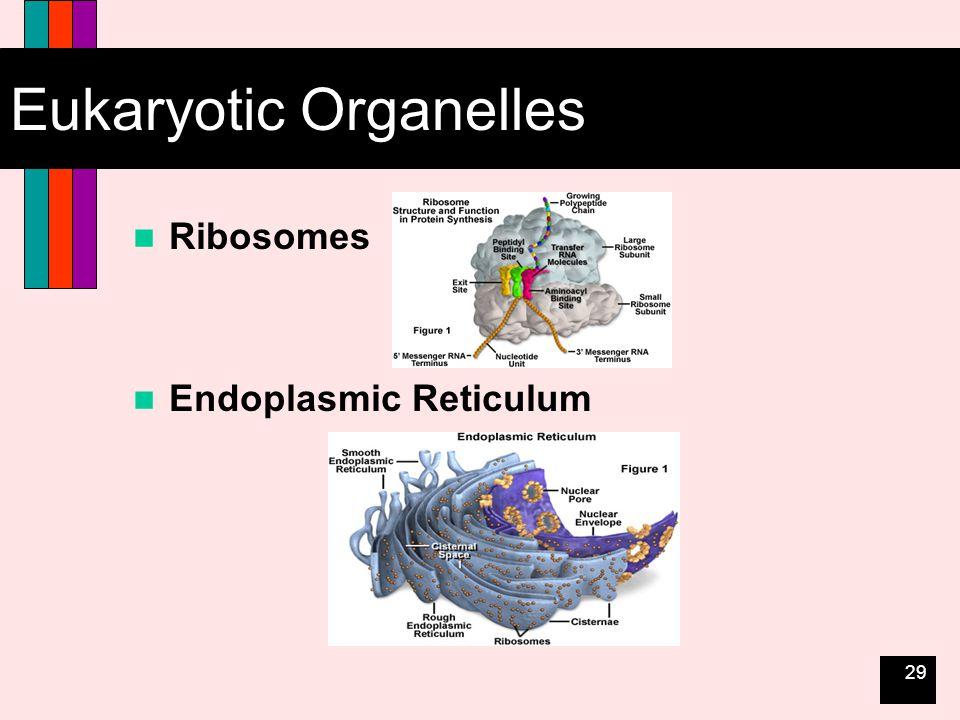 29 Eukaryotic Organelles Ribosomes Endoplasmic Reticulum