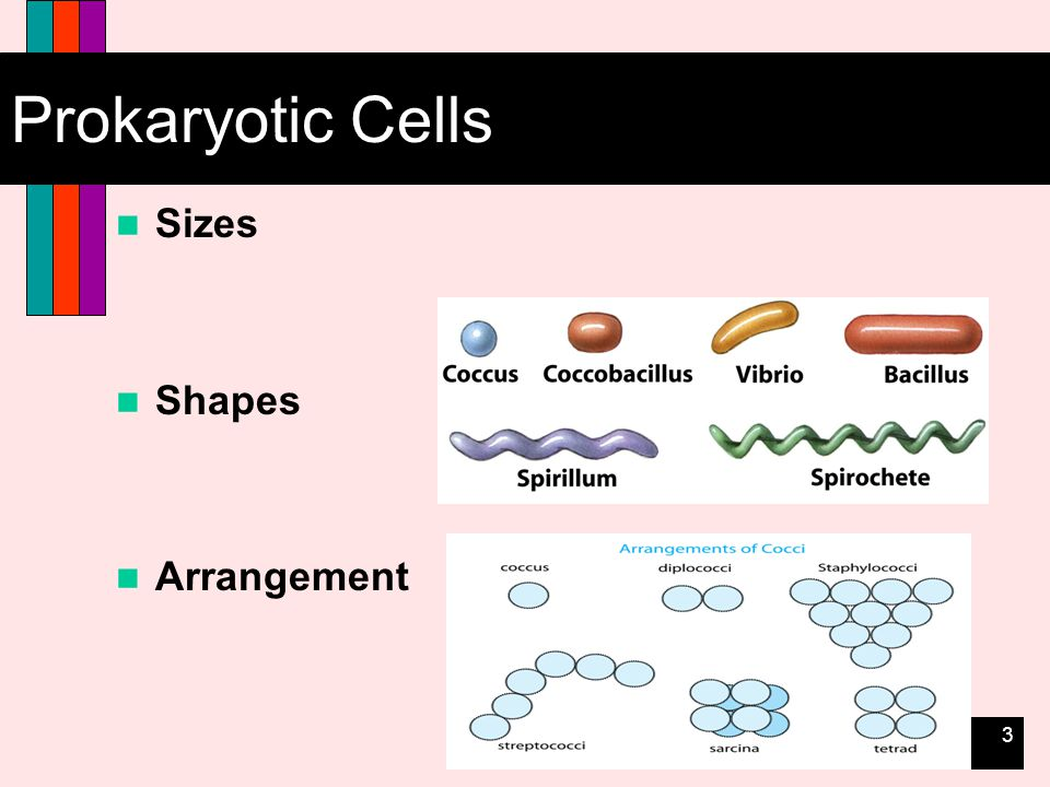 3 Prokaryotic Cells Sizes Shapes Arrangement