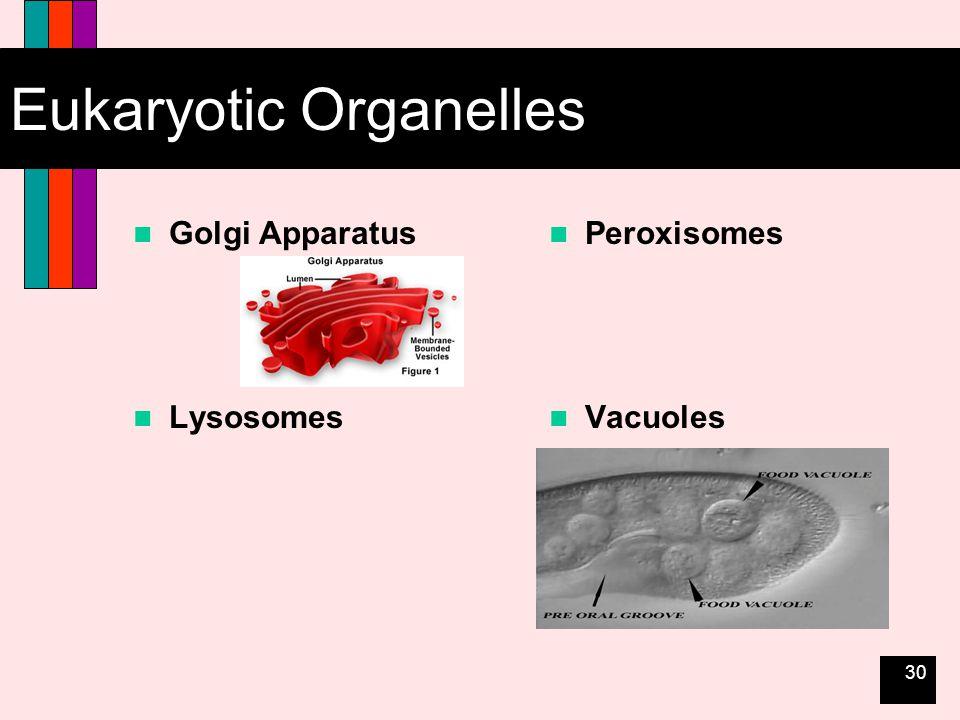 30 Eukaryotic Organelles Golgi Apparatus Lysosomes Peroxisomes Vacuoles