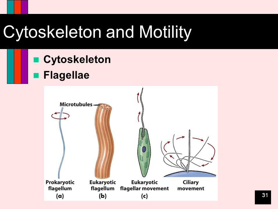 31 Cytoskeleton and Motility Cytoskeleton Flagellae