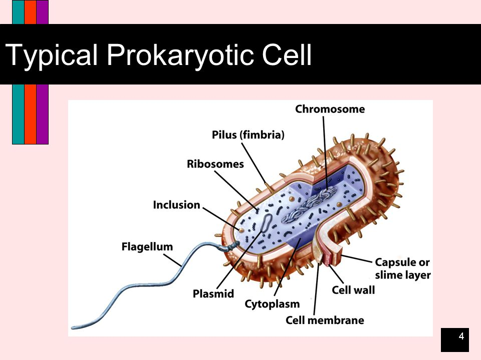 25 Eukaryotic Cell Structure