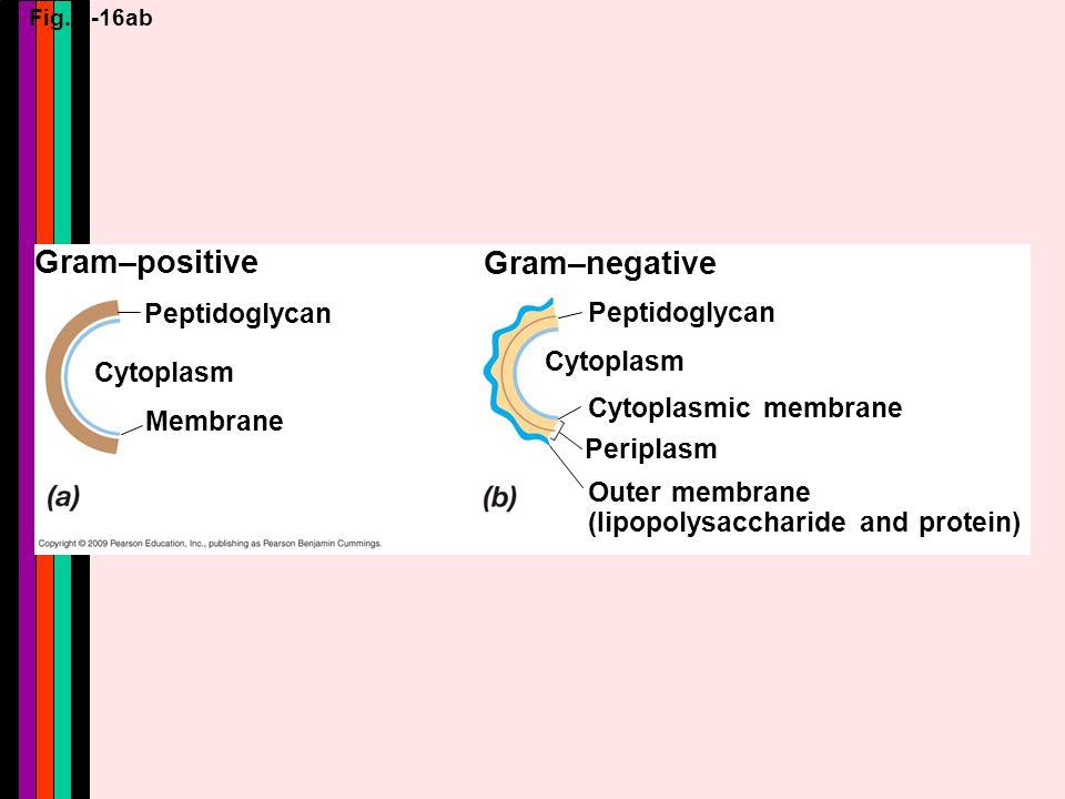 Fig. 4-16ab Gram–positive Peptidoglycan Cytoplasm Membrane Gram–negative Peptidoglycan Cytoplasm Cytoplasmic membrane Periplasm Outer membrane (Iipopo