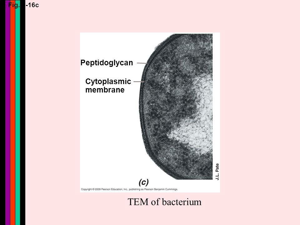 Fig. 4-16c Peptidoglycan Cytoplasmic membrane TEM of bacterium
