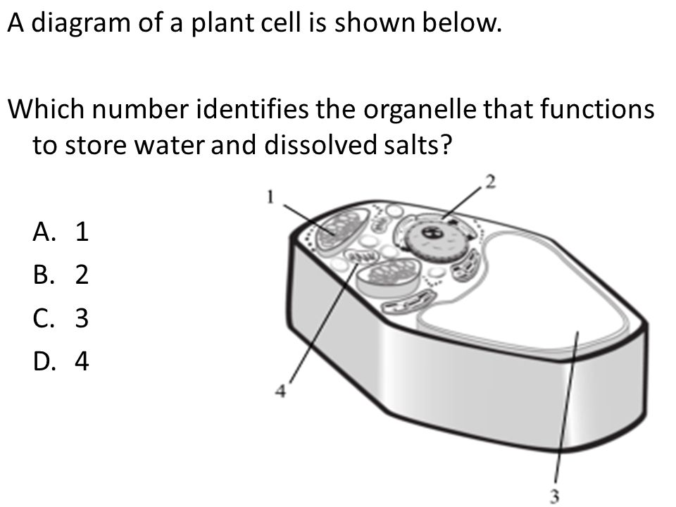 A diagram of a plant cell is shown below. Which number identifies the organelle that functions to store water and dissolved salts? A.1 B.2 C.3 D.4