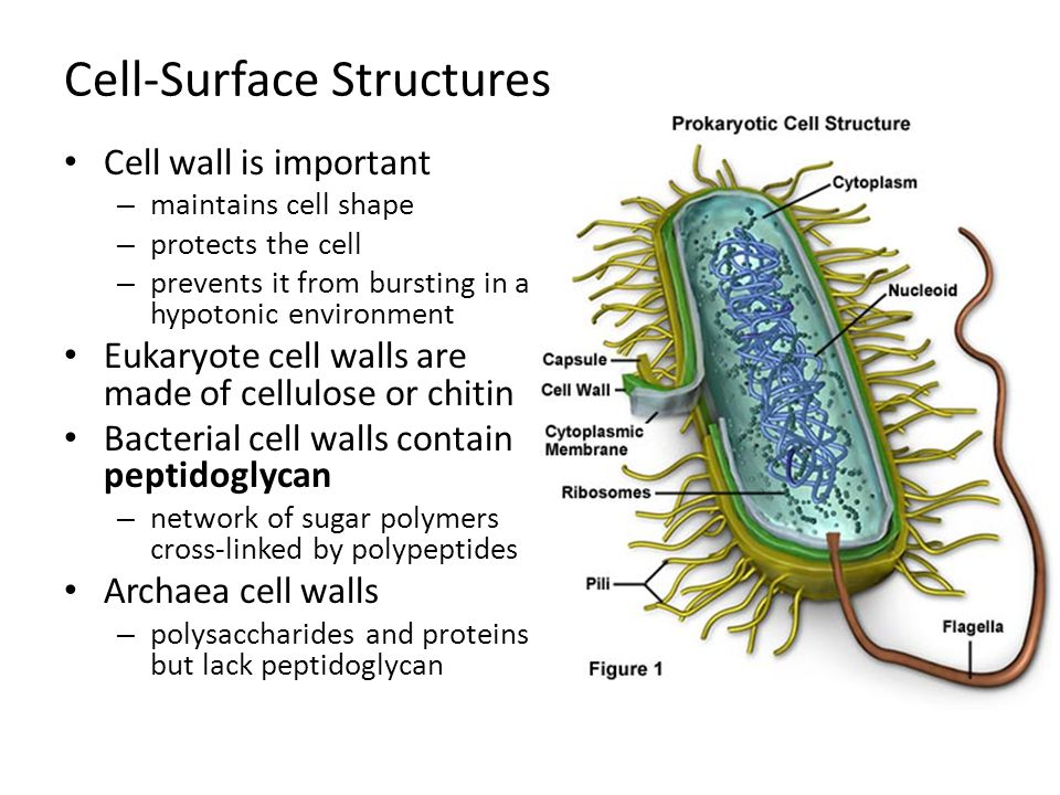 Cell-Surface Structures Cell wall is important – maintains cell shape – protects the cell – prevents it from bursting in a hypotonic environment Eukar