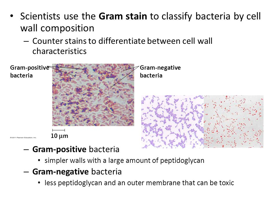 Scientists use the Gram stain to classify bacteria by cell wall composition – Counter stains to differentiate between cell wall characteristics – Gram