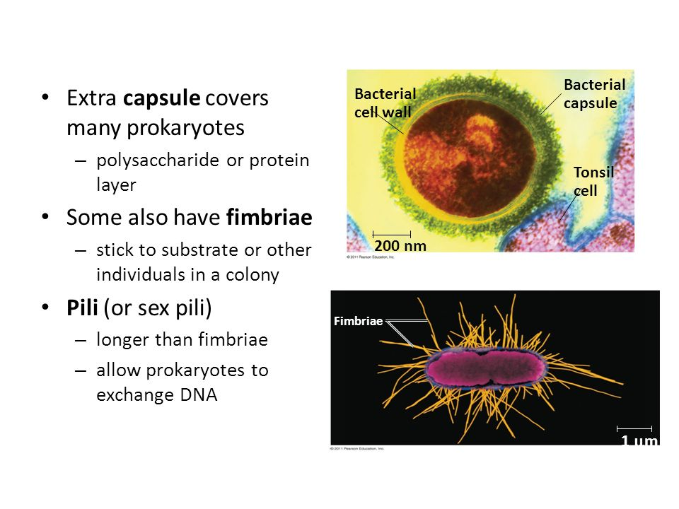 Extra capsule covers many prokaryotes – polysaccharide or protein layer Some also have fimbriae – stick to substrate or other individuals in a colony