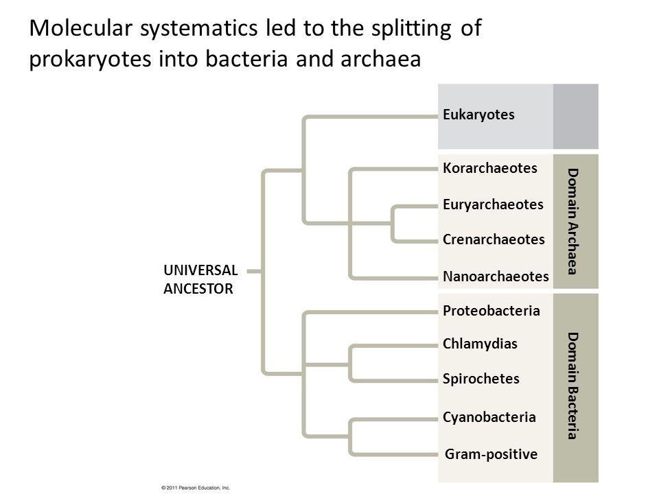 Molecular systematics led to the splitting of prokaryotes into bacteria and archaea Eukaryotes Korarchaeotes Euryarchaeotes Crenarchaeotes Nanoarchaeo