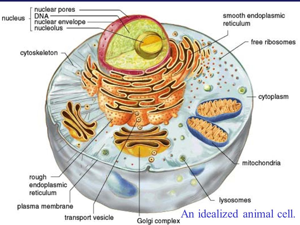 An idealized animal cell.