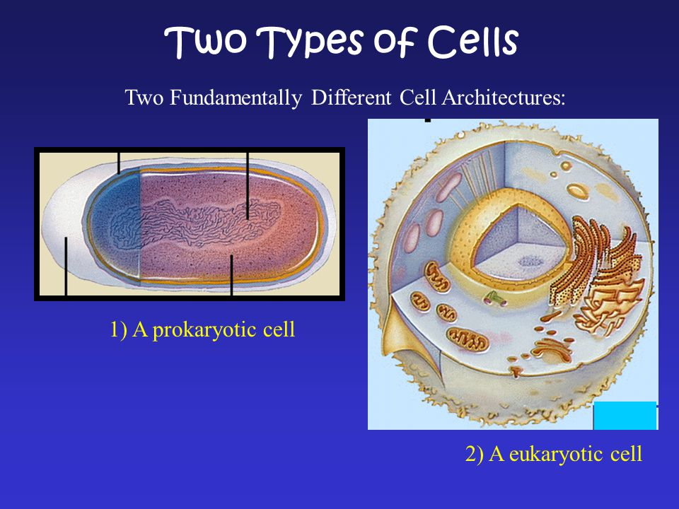 Two Types of Cells 1) A prokaryotic cell 2) A eukaryotic cell Two Fundamentally Different Cell Architectures: