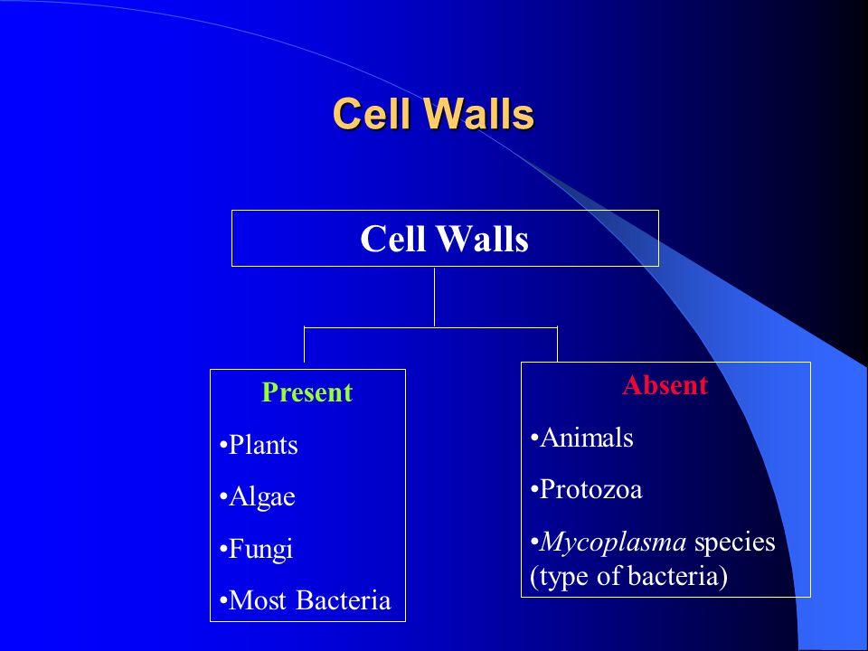 Cell Walls Present Plants Algae Fungi Most Bacteria Absent Animals Protozoa Mycoplasma species (type of bacteria)