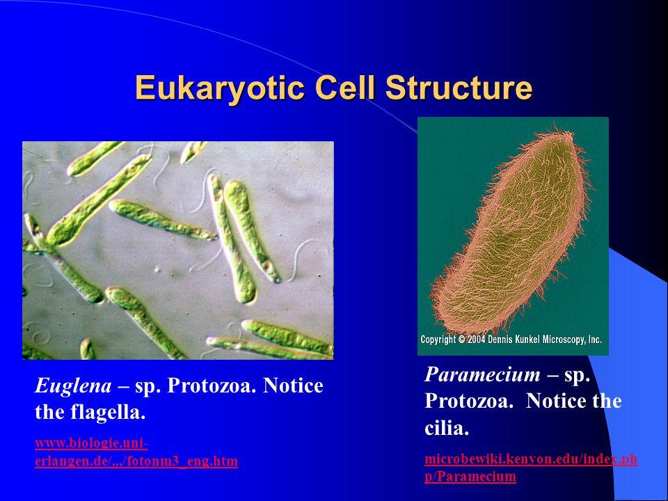 Eukaryotic Cell Structure Euglena – sp. Protozoa. Notice the flagella. www.biologie.uni- erlangen.de/.../fotonm3_eng.htm Paramecium – sp. Protozoa. No