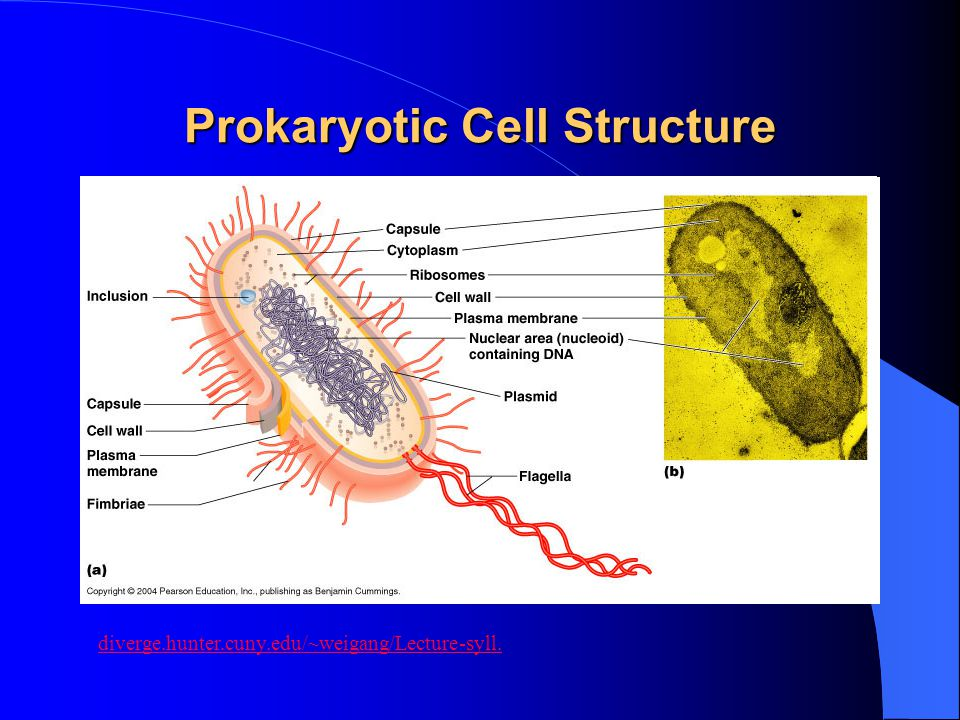 Prokaryotic Cell Structure diverge.hunter.cuny.edu/~weigang/Lecture-syll.