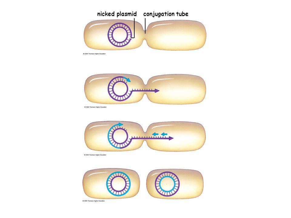nicked plasmidconjugation tube