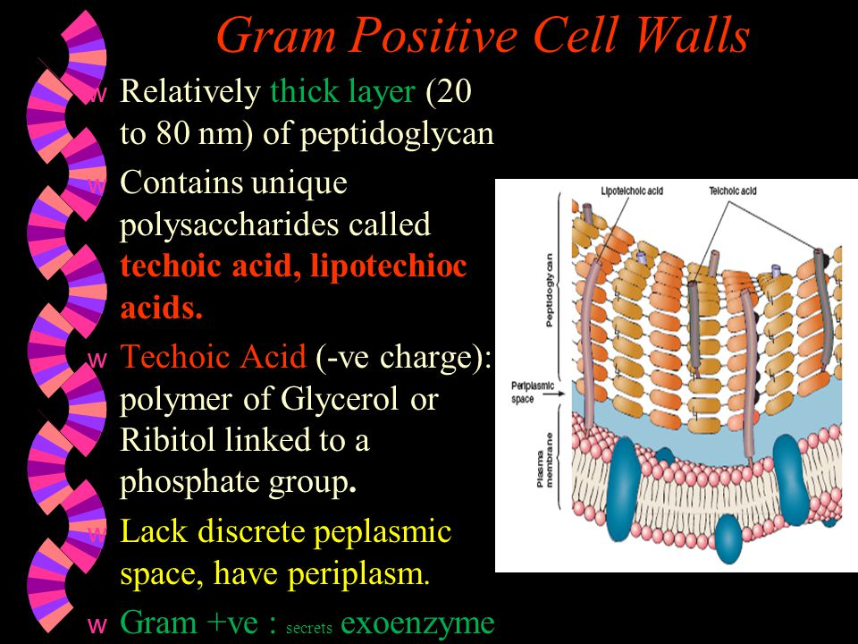 Gram Negative Cell Walls w Have a only a thin layer of peptidoglycan bounded to either side of periplasmic space.