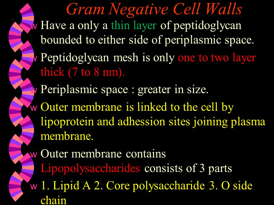 Gram Negative Cell Walls Functions of LPS  Bcz of the charged sugars and phosphate of core polysaccharide it contributes to –Ve charge of surface.