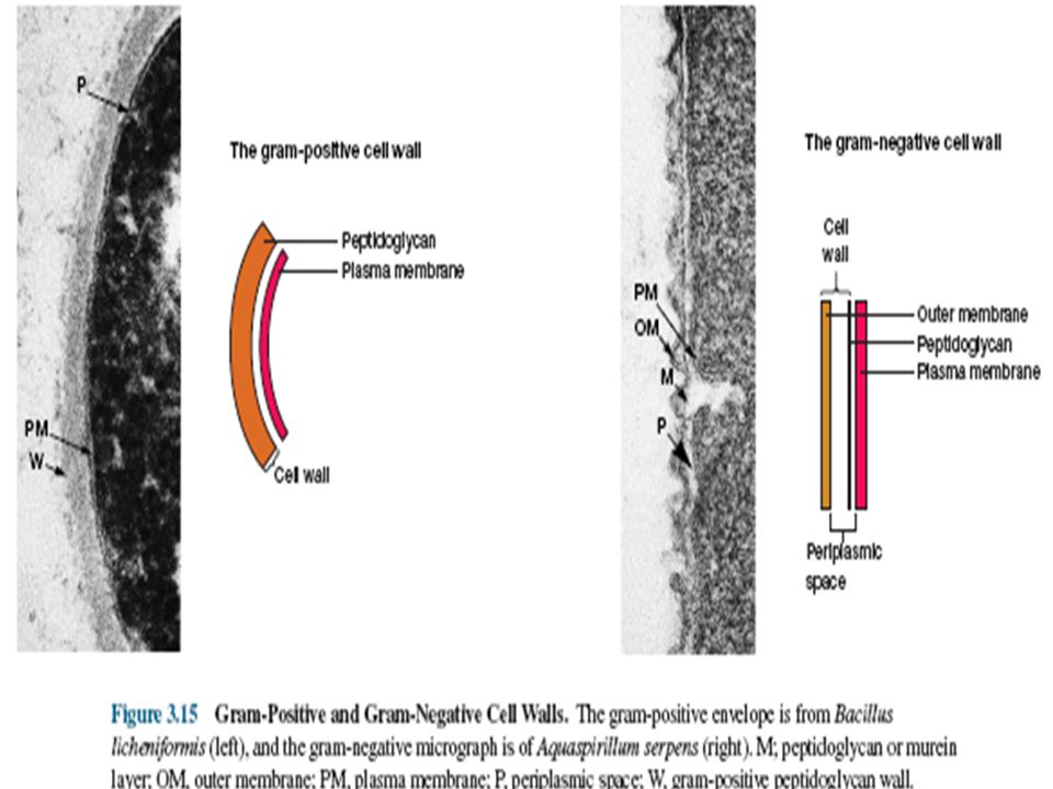 Archaeal Cell Walls w Do not have peptidoglycan w Cell Walls consists of complex heteropolysaccharides.