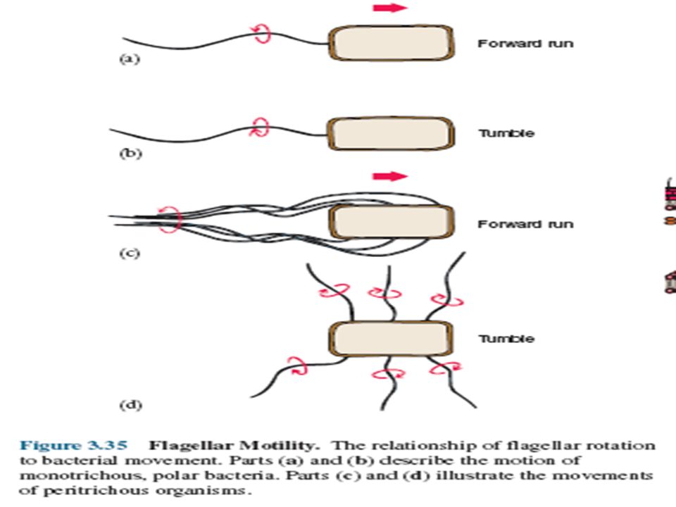 Motility w Spirochetes: Spinning motility : by Axial filament.