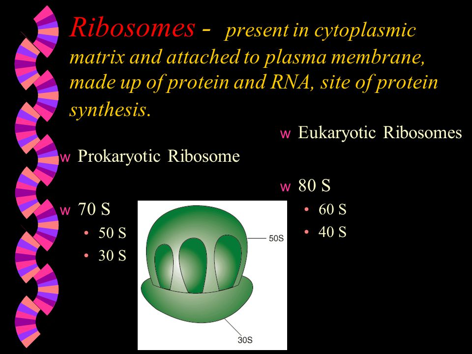 Ribosomes - present in cytoplasmic matrix and attached to plasma membrane, made up of protein and RNA, site of protein synthesis. w Prokaryotic Riboso