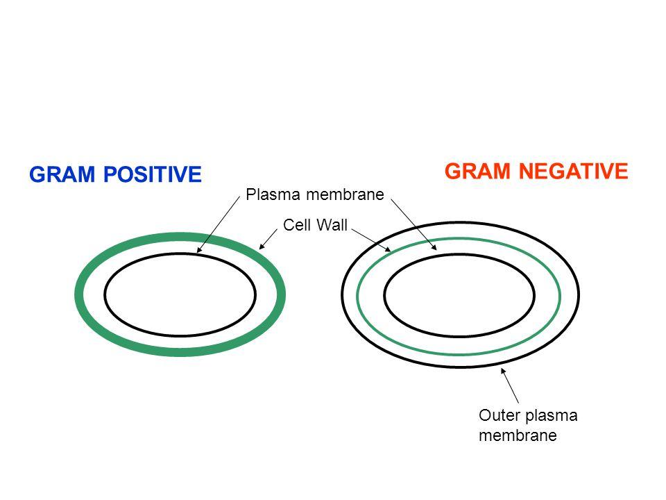 Plasma membrane Outer plasma membrane GRAM POSITIVE GRAM NEGATIVE Cell Wall
