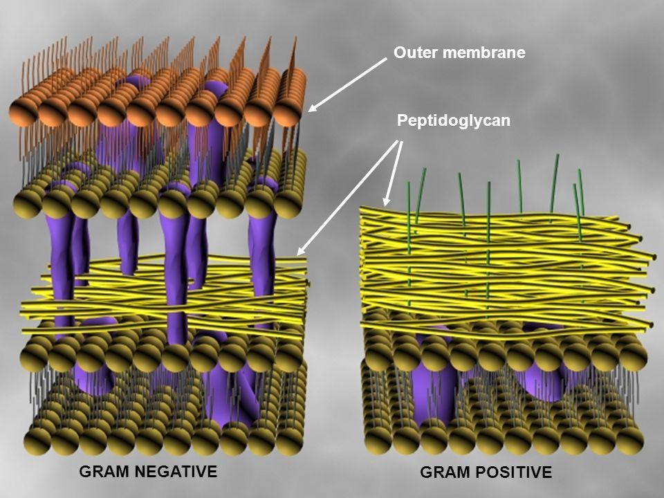 Outer membrane Peptidoglycan GRAM NEGATIVE GRAM POSITIVE
