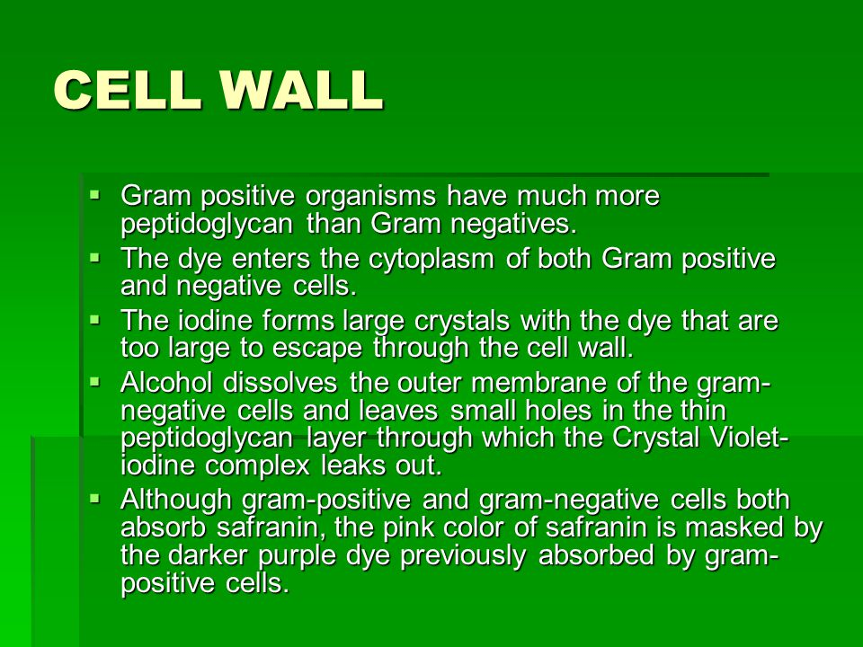 CELL WALL  Gram positive organisms have much more peptidoglycan than Gram negatives.
