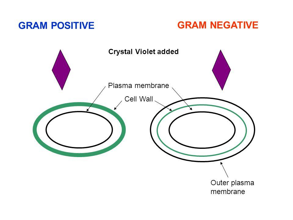 Plasma membrane Outer plasma membrane GRAM POSITIVE GRAM NEGATIVE Cell Wall Crystal Violet added