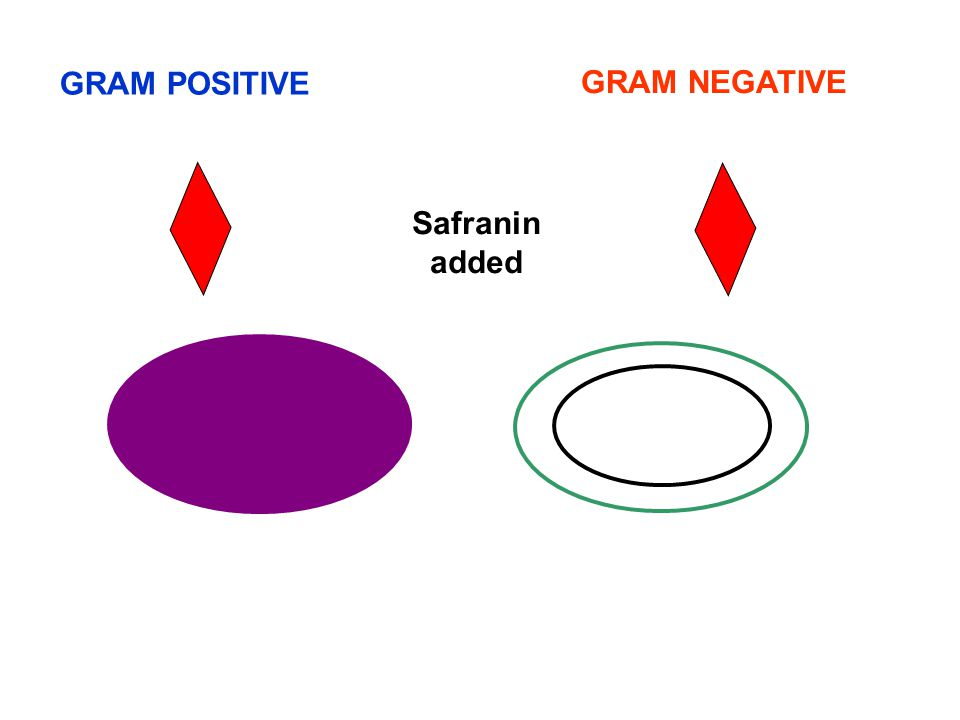 GRAM POSITIVE GRAM NEGATIVE Safranin added