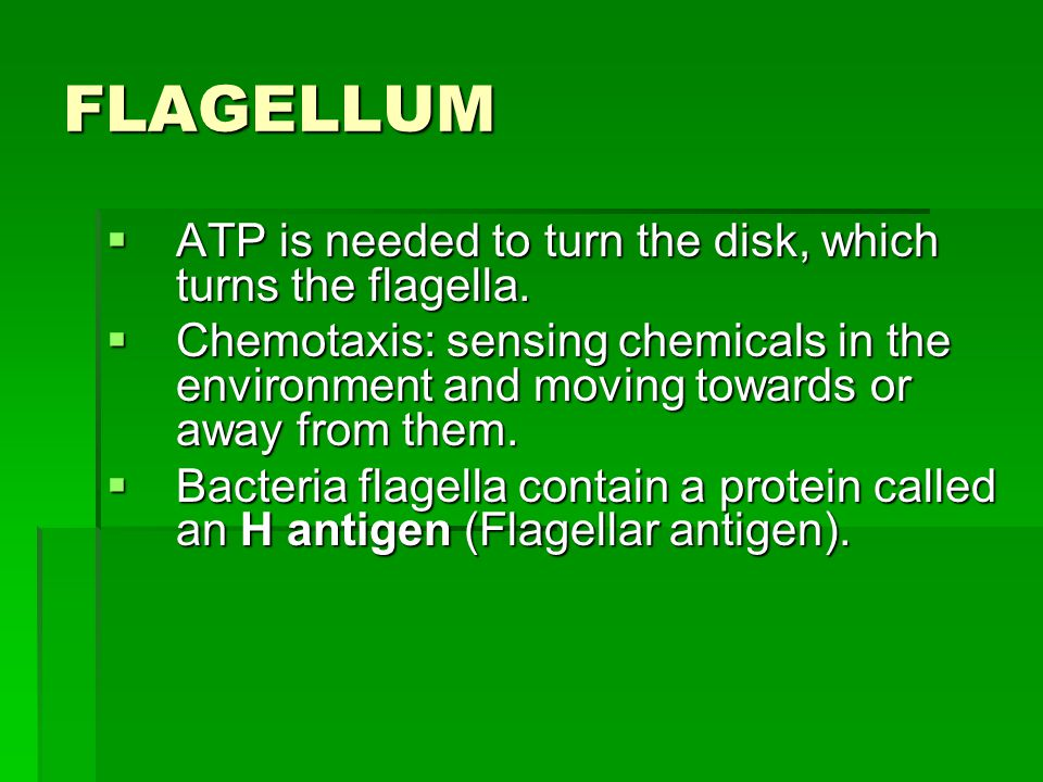 FLAGELLUM  ATP is needed to turn the disk, which turns the flagella.