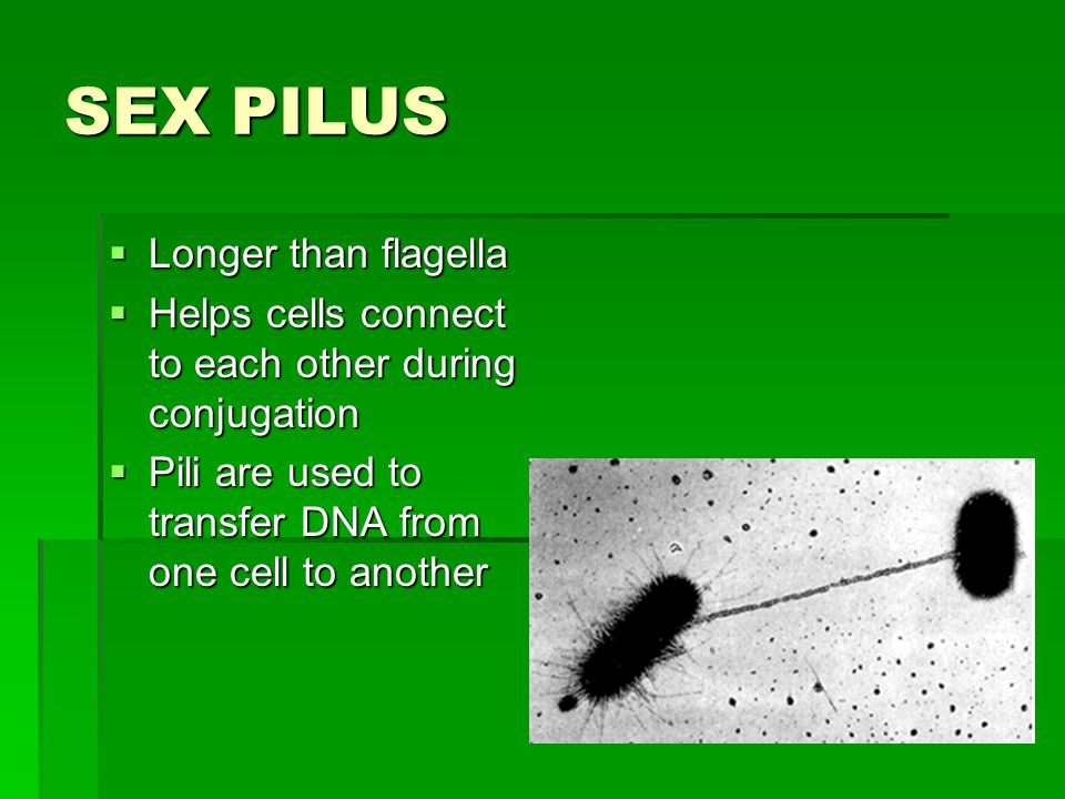 SEX PILUS  Longer than flagella  Helps cells connect to each other during conjugation  Pili are used to transfer DNA from one cell to another