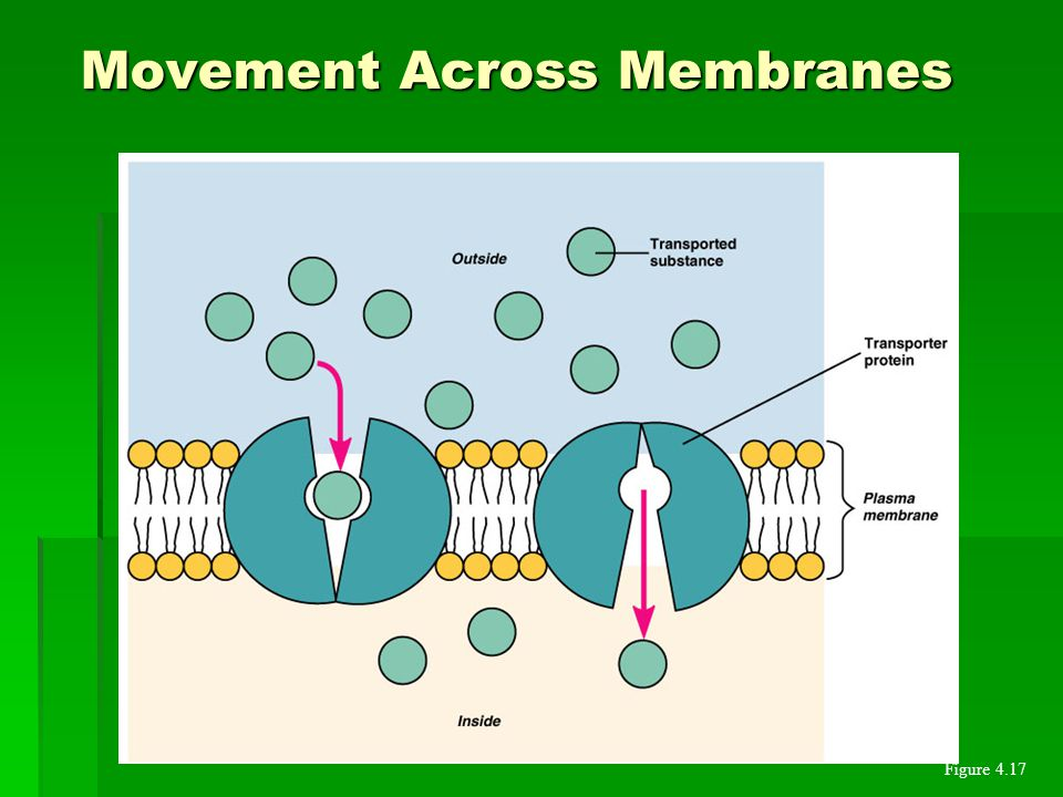 Movement Across Membranes Figure 4.17