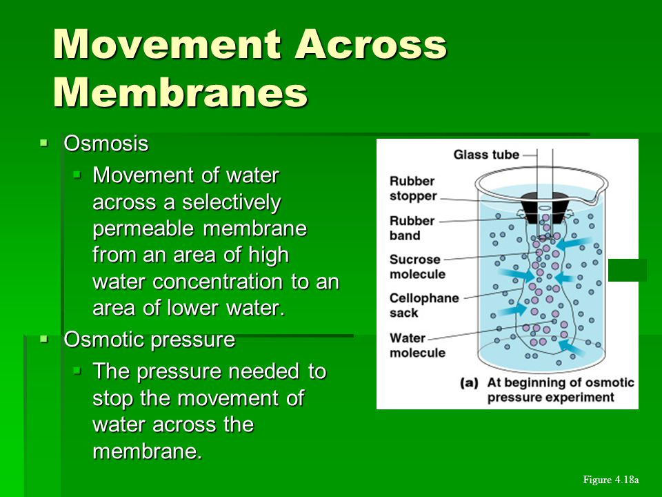  Osmosis  Movement of water across a selectively permeable membrane from an area of high water concentration to an area of lower water.