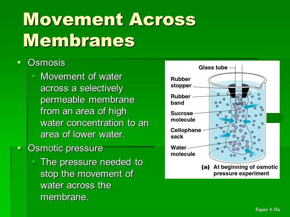 PLASMA MEMBRANE  Phospholipid bilayer.