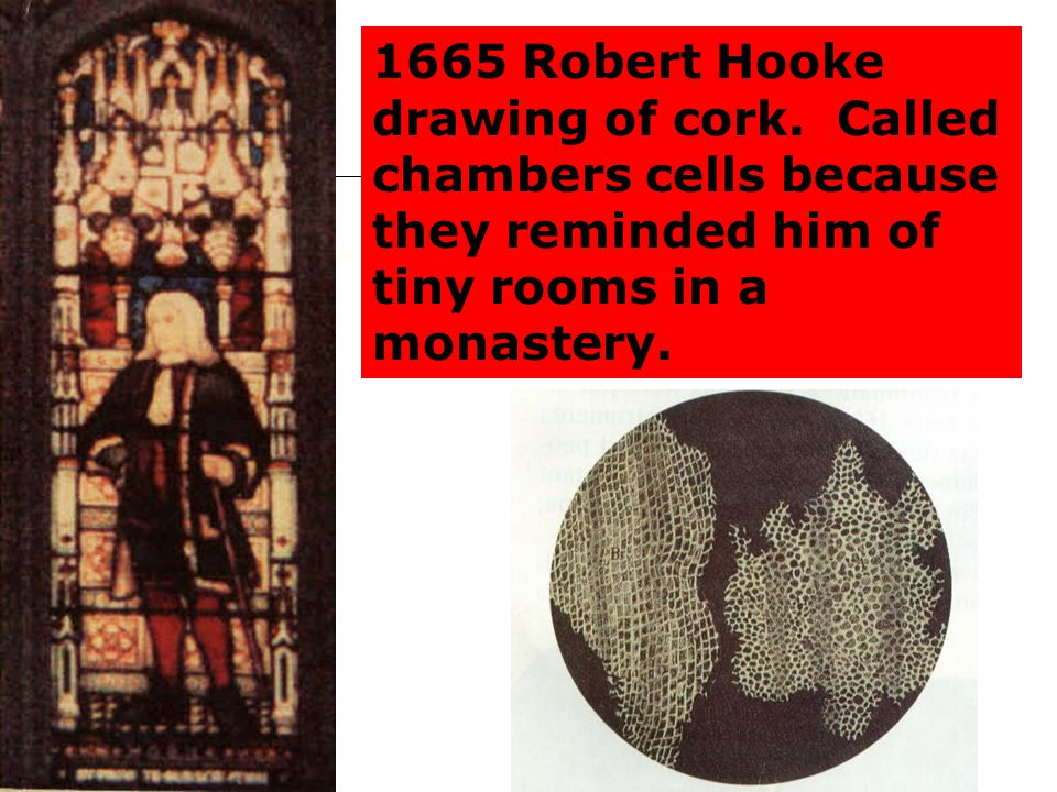 1665 Robert Hooke drawing of cork. Called chambers cells because they reminded him of tiny rooms in a monastery.