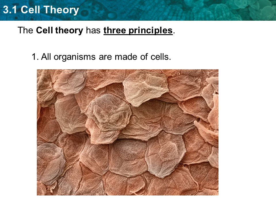 3.1 Cell Theory The Cell theory has three principles. 1. All organisms are made of cells.