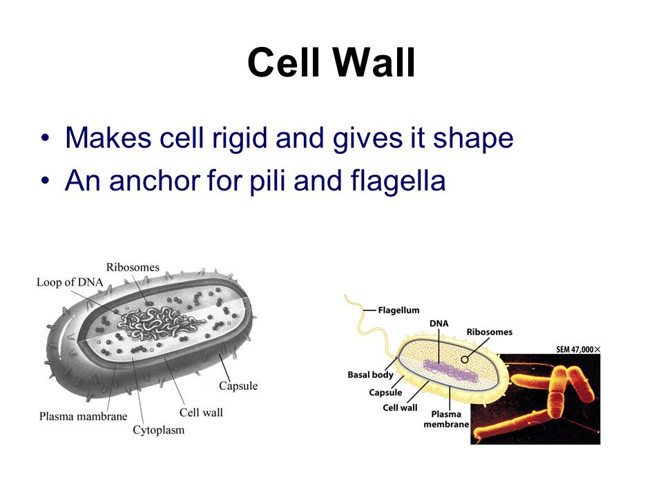 Cell Wall Makes cell rigid and gives it shape An anchor for pili and flagella