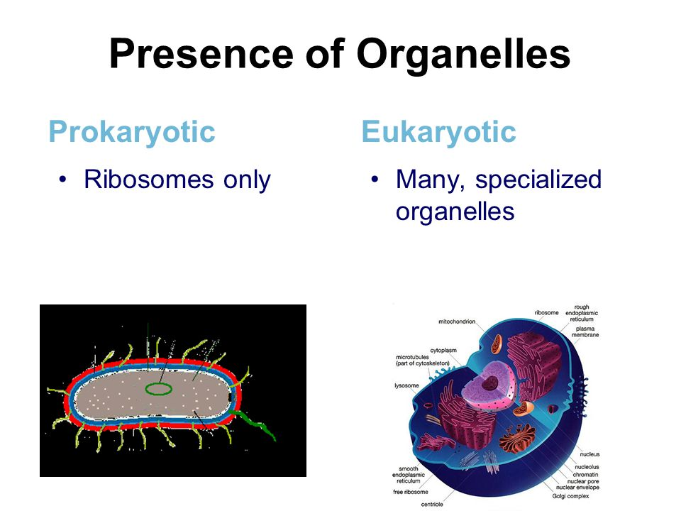 Presence of Organelles Prokaryotic Ribosomes only Eukaryotic Many, specialized organelles