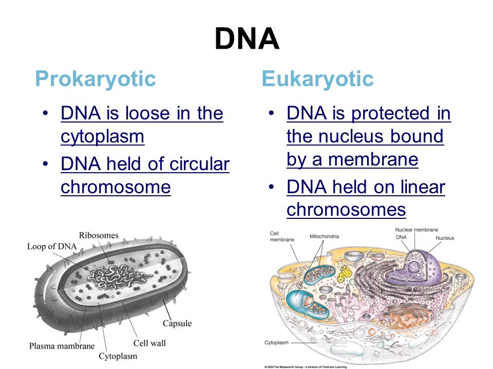 DNA Prokaryotic DNA is loose in the cytoplasm DNA held of circular chromosome Eukaryotic DNA is protected in the nucleus bound by a membrane DNA held