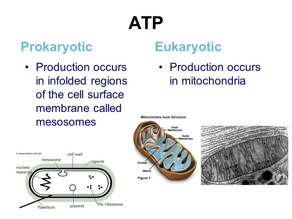 ATP Prokaryotic Production occurs in infolded regions of the cell surface membrane called mesosomes Eukaryotic Production occurs in mitochondria