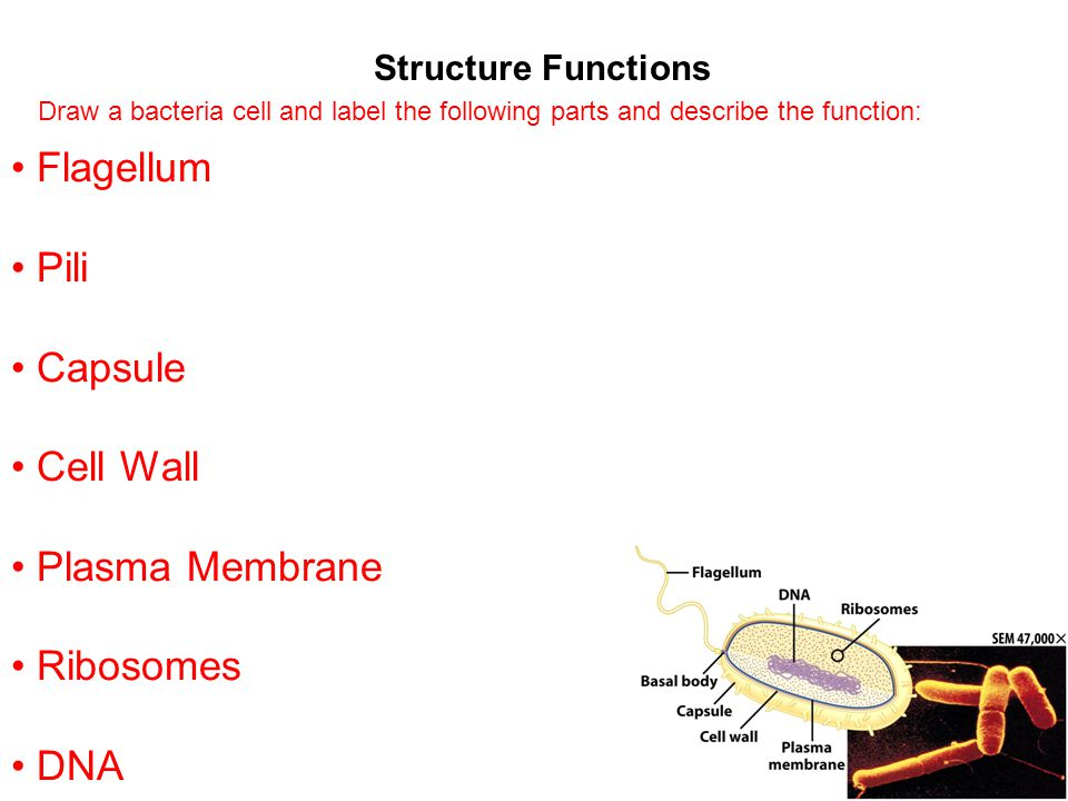 Structure Functions Flagellum Pili Capsule Cell Wall Plasma Membrane Ribosomes DNA Draw a bacteria cell and label the following parts and describe the
