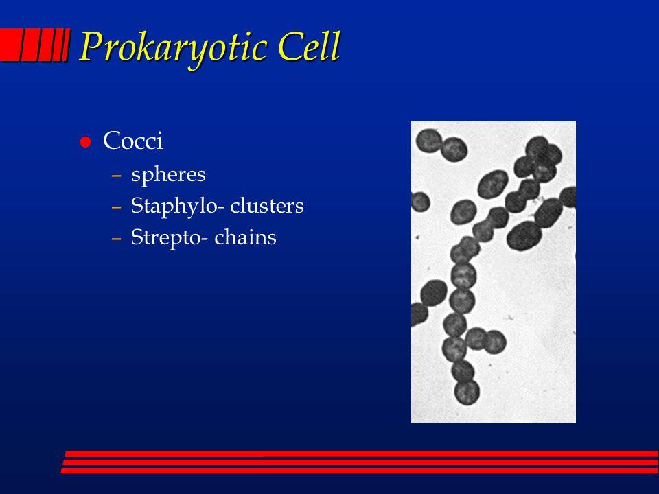 Prokaryotic Cell l Bacilli –rods