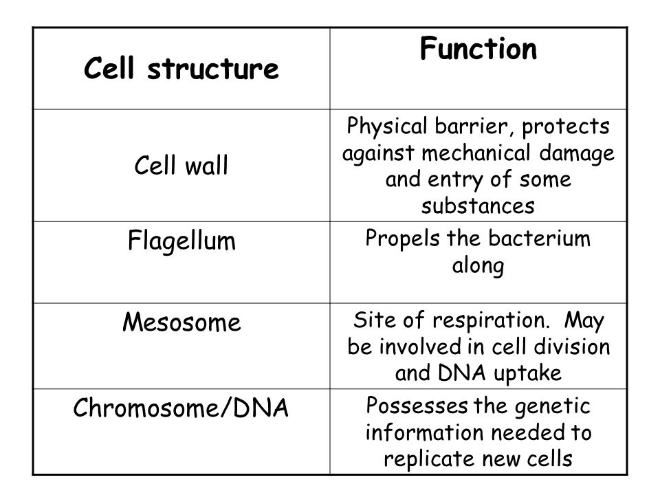 Cell structure Function Cell wall Physical barrier, protects against mechanical damage and entry of some substances Flagellum Propels the bacterium along Mesosome Site of respiration.