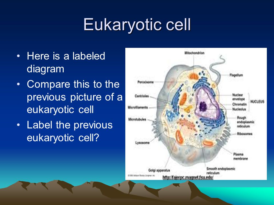 Eukaryotic cell Here is a labeled diagram Compare this to the previous picture of a eukaryotic cell Label the previous eukaryotic cell?