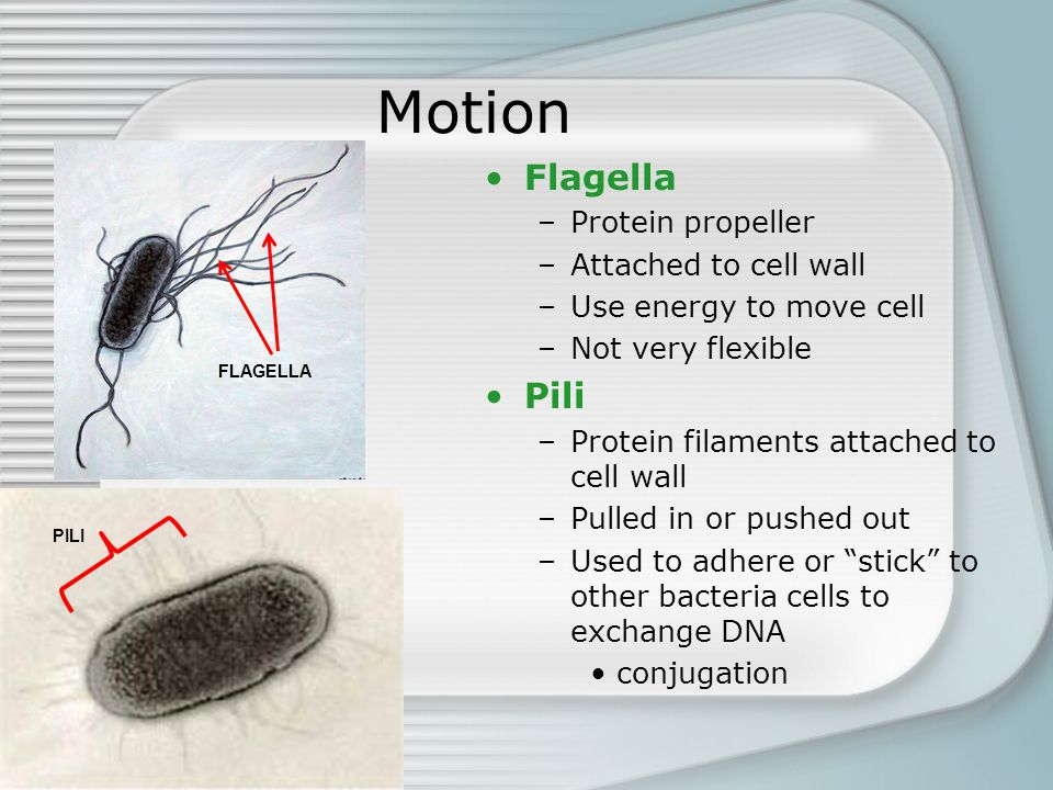 Motion Flagella –Protein propeller –Attached to cell wall –Use energy to move cell –Not very flexible Pili –Protein filaments attached to cell wall –P