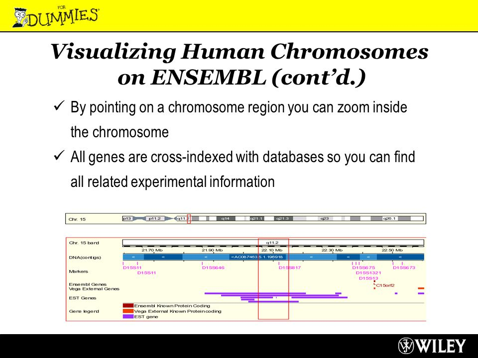Visualizing Human Chromosomes on ENSEMBL (cont'd.) By pointing on a chromosome region you can zoom inside the chromosome All genes are cross-indexed with databases so you can find all related experimental information