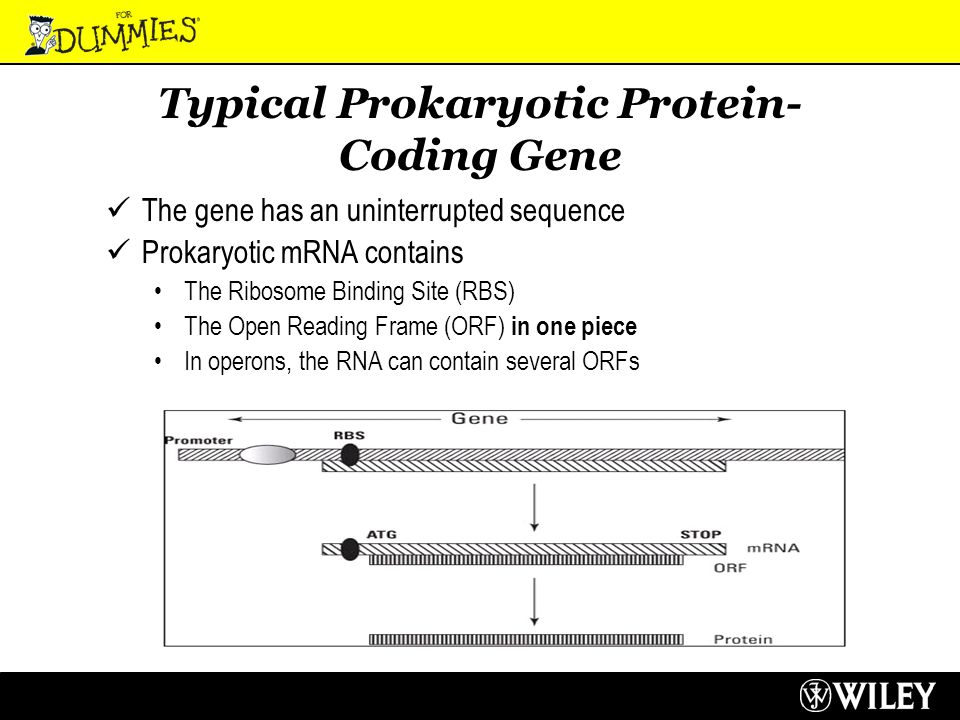Typical Prokaryotic Protein- Coding Gene The gene has an uninterrupted sequence Prokaryotic mRNA contains The Ribosome Binding Site (RBS) The Open Reading Frame (ORF) in one piece In operons, the RNA can contain several ORFs
