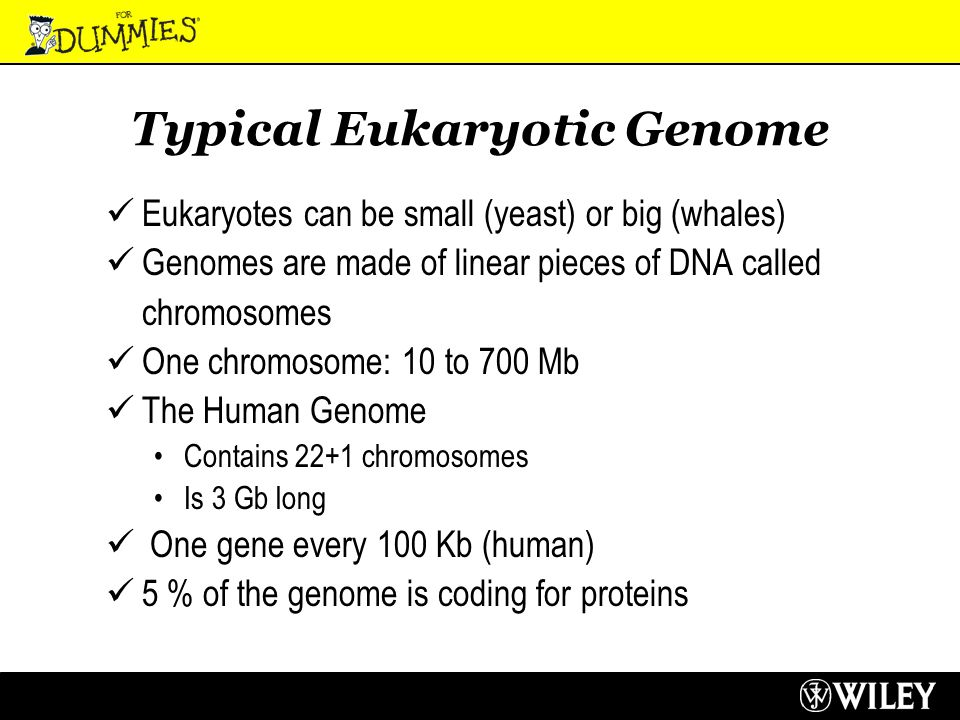 Typical Eukaryotic Genome Eukaryotes can be small (yeast) or big (whales) Genomes are made of linear pieces of DNA called chromosomes One chromosome: 10 to 700 Mb The Human Genome Contains 22+1 chromosomes Is 3 Gb long One gene every 100 Kb (human) 5 % of the genome is coding for proteins