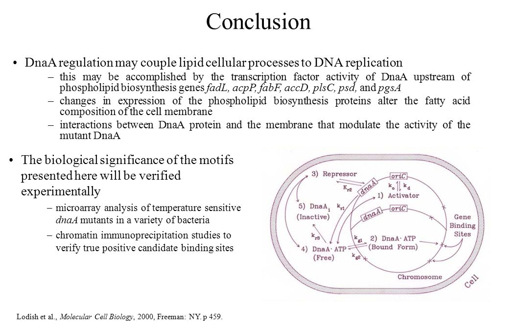 The biological significance of the motifs presented here will be verified experimentally –microarray analysis of temperature sensitive dnaA mutants in a variety of bacteria –chromatin immunoprecipitation studies to verify true positive candidate binding sites DnaA regulation may couple lipid cellular processes to DNA replication –this may be accomplished by the transcription factor activity of DnaA upstream of phospholipid biosynthesis genes fadL, acpP, fabF, accD, plsC, psd, and pgsA –changes in expression of the phospholipid biosynthesis proteins alter the fatty acid composition of the cell membrane –interactions between DnaA protein and the membrane that modulate the activity of the mutant DnaA Lodish et al., Molecular Cell Biology, 2000, Freeman: NY.